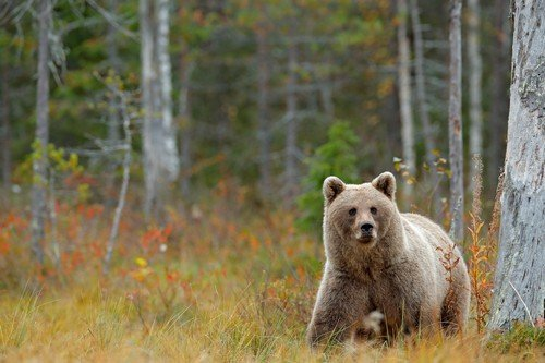 Wildlife scene from Finland near Russia bolder. Autumn forest with bear. Beautiful brown bear walking around lake with autumn colours. Dangerous animal in nature forest and meadow habitat.