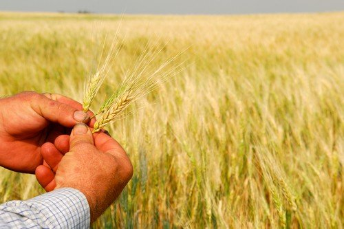 Durum Wheat in Farmer's Hands - central canada travel guide