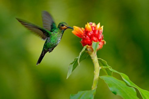 Green-crowned Brilliant, Heliodoxa jacula, green bird from Costa Rica flying next to beautiful red flower with clear background, nature habitat, action feeding scene - Ecuador travel guide