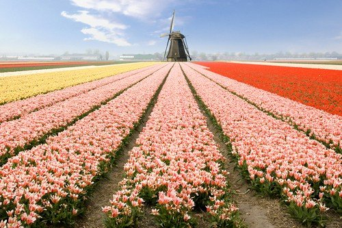 Multi colored tulip fields and windmill ultimate netherlands travel guide