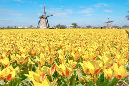 Windmill and yellow tulips in Holland ultimate netherlands travel guide