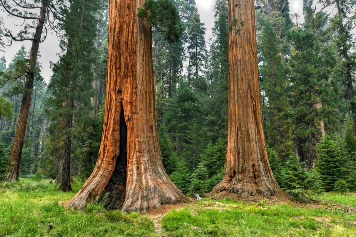 2. Big Trees Trail Sequoia National Park